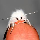Hodges#8133 * Pink-legged Tiger Moth * Spilosoma latipennis
