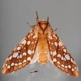 Hodges#8211 * Hickory Tussock Moth * Lophocampa caryae