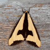 Hodges#8107 * Clymene Moth * Haploa clymene