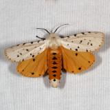 Hodges#8131 * Salt Marsh Moth ♂ * Estigmene acrea