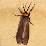 Hodges#8267 * Yellow-collared Scape Moth * Cisseps fulvicollis