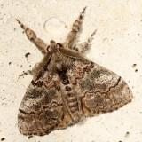 Hodges#8294 * Variable Tussock Moth * Dasychira vagans