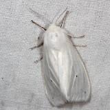 Hodges#8140 * Fall Webworm Moth* Hyphantria cunea
