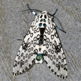 Hodges#8146 * Giant Leopard Moth * Hypercompe scribonia