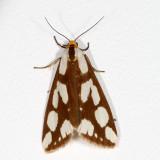 Hodges#8112 * Confused Haploa Moth * Haploa confusa