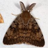 Hodges#8318 * Gypsy Moth ♂ * Lymantria dispar