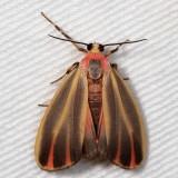 Hodges#8090 * Painted Lichen Moth * Hypoprepia fucosa