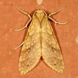 Hodges#8216 * Santa Ana Tussock Moth - Lophocampa annulosa