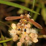 Hodges#8287 * Texas Wasp Moth * Horama panthalon