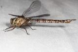 Darners : Aeshnidae