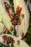 Oncopeltus fasciatus