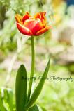 First tulipe in my garden
