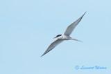 Arctic Tern/Silvertärna.