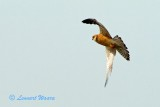 Aftonfalk / Red-footed Falcon