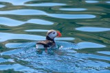 Lunnefågel / Atlantic Puffin