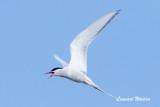Arctic Tern/Silvertärna