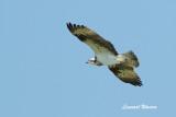 Osprey/fiskgjuse
