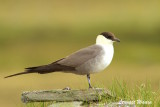Fjällabb / Long-tailed Jaeger