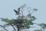 Osprey,1k, landing on nest - 3