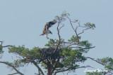 Osprey,1k, landing on nest - 2