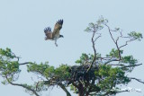 Osprey,1k, landing on nest - 1