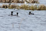 Ringand / Ring-necked Duck
