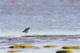 Mindre gulbena / Lesser Yellowlegs