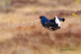 Orre / Black Grouse