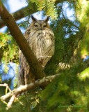 Hornuggla / Long-eared Owl