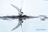 Silvertärna/Arctic Tern