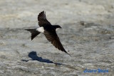 Hussvala / Common House Martin