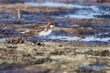 Smalnäbbad simsnäppa / Red-necked Phalarope
