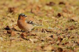 Bofink / Common Chaffinch