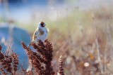 Steglits / European Goldfinch