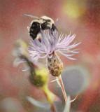 bee thistle 2
