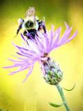 bee thistle