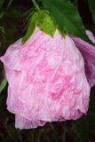 july 30 wet hibiscus.jpg