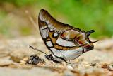 Butterflies of Sulawesi