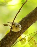 recent warblers