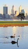Black Swans by the Swan River at Sunrise, 4th August 2013