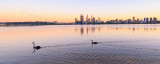 Black Swans on the Swan River at Sunrise, 23rd August 2013