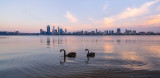 Black Swans on the Swan River at Sunrise, 1st November 2013