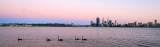 Black Swan on the Swan River at Sunrise, 8th November 2013