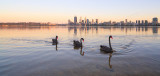 Black Swans on the Swan River at Sunrise, 5th November 2014