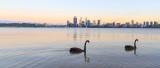 Black Swans on the Swan River at Sunrise, 13th November 2014