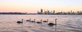 Black Swans and Cygnets on the Swan River at Sunrise, 15th November 2014