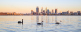 Black Swans and Cygnets on the Swan River at Sunrise, 5th January 2015