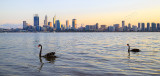 Black Swans on the Swan River at Sunrise, 26th May 2015