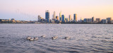Pelicans on the Swan River at Sunrise, 9th September 2015