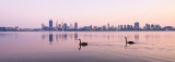 Black Swans on the Swan River at Sunrise, 26th September 2015